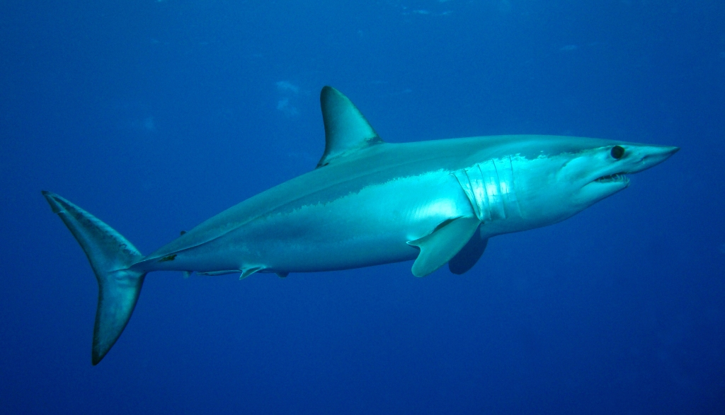 "Mako shark by Patrick Doll (https://commons.wikimedia.org/wiki/File:Kurzflossen-Mako.jpg), ""Kurzflossen-Mako"", https://creativecommons.org/licenses/by-sa/3.0/legalcode"